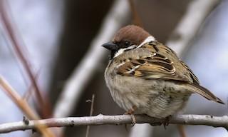- Eurasian Tree Sparrow