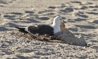 - Yellow-footed Gull