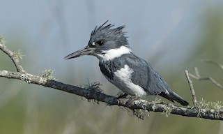 - Belted Kingfisher