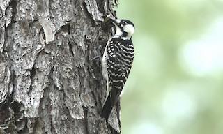 - Red-cockaded Woodpecker