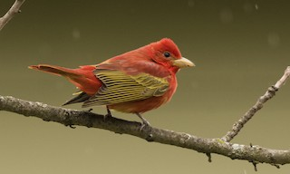 - Summer Tanager