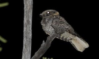 - Buff-collared Nightjar