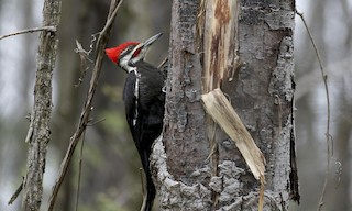 - Pileated Woodpecker