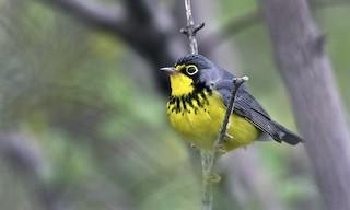 - Canada Warbler