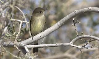 - Willow Flycatcher