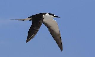 - Sooty Tern