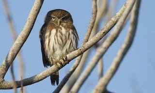 - Ferruginous Pygmy-Owl