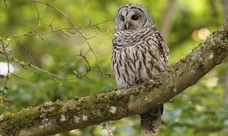 - Barred Owl