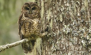 - Spotted Owl