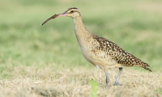 - Bristle-thighed Curlew