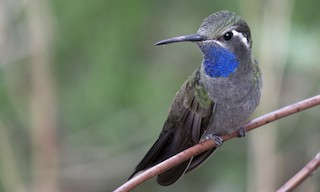 - Blue-throated Mountain-gem