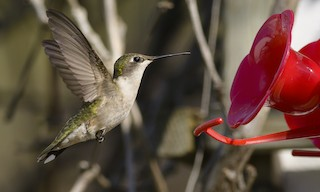 - Ruby-throated Hummingbird
