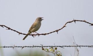 - Botteri's Sparrow
