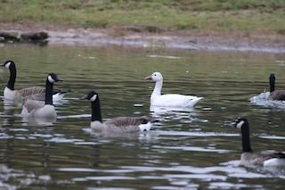 Snow Goose, ML299778481
