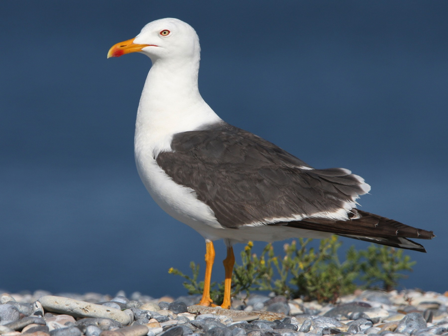 Lesser Black-backed Gull - Christoph Moning