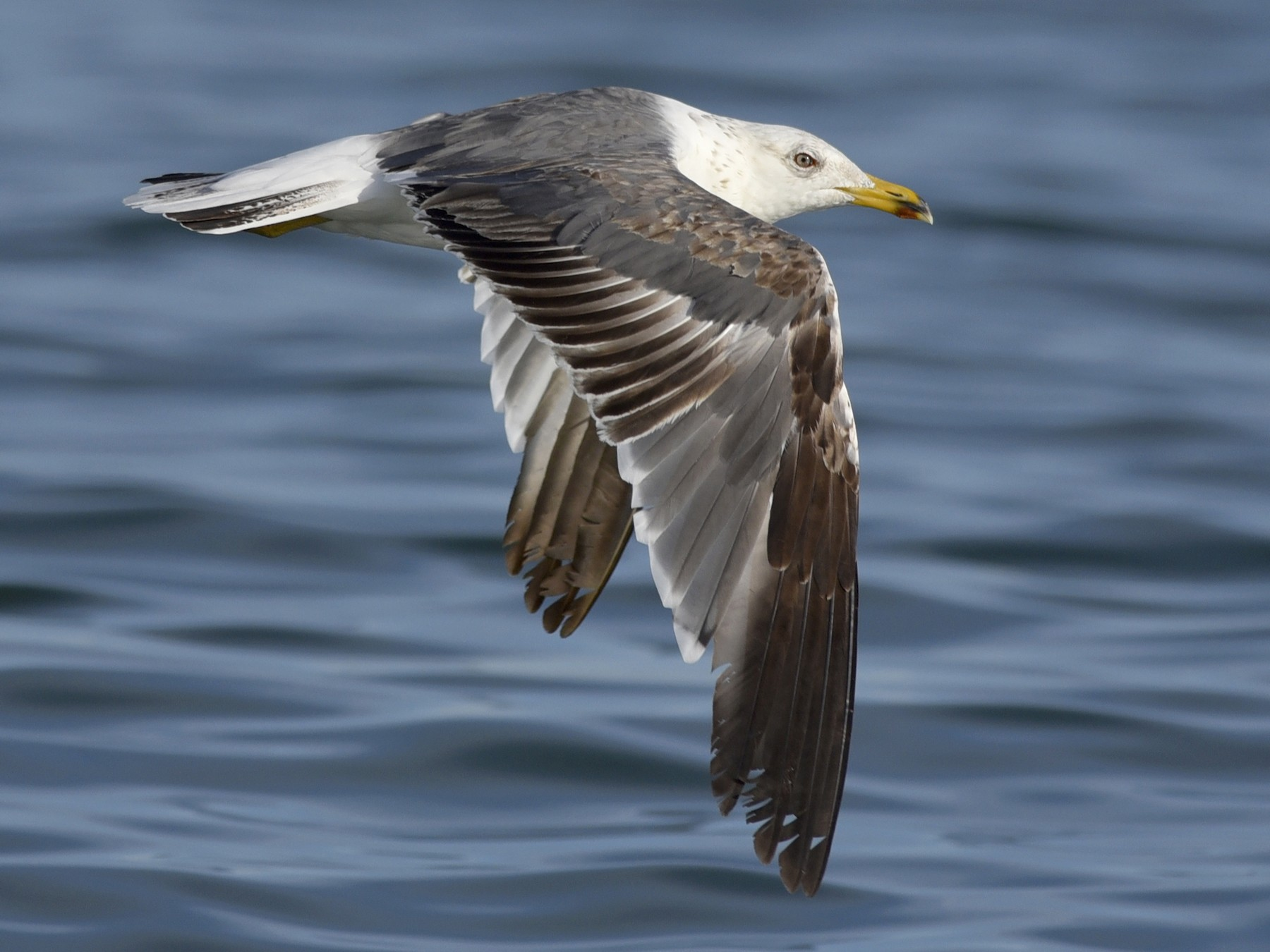 Lesser Black-backed Gull - Daniel Irons
