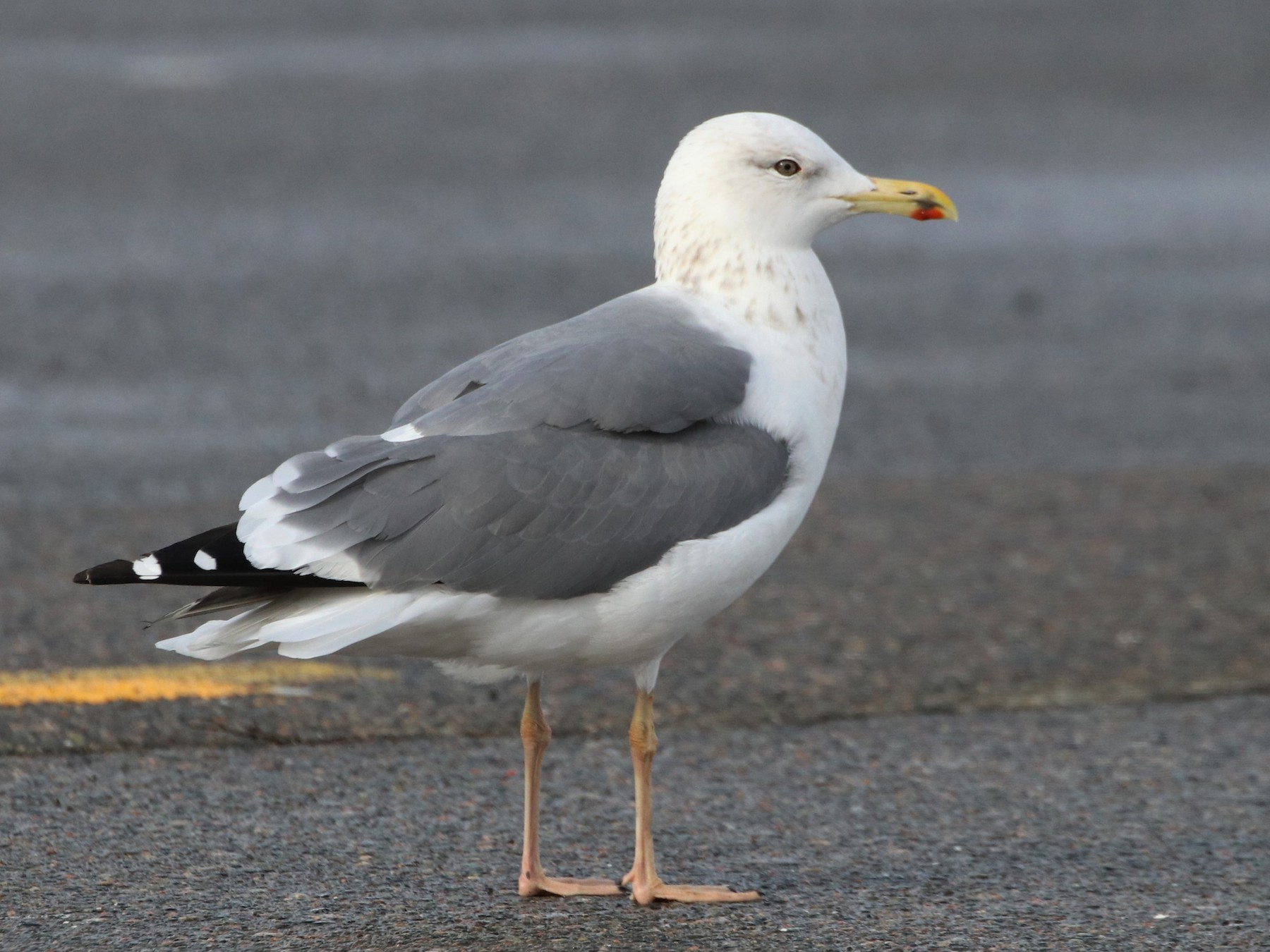 Lesser Black-backed Gull - Ken McKenna