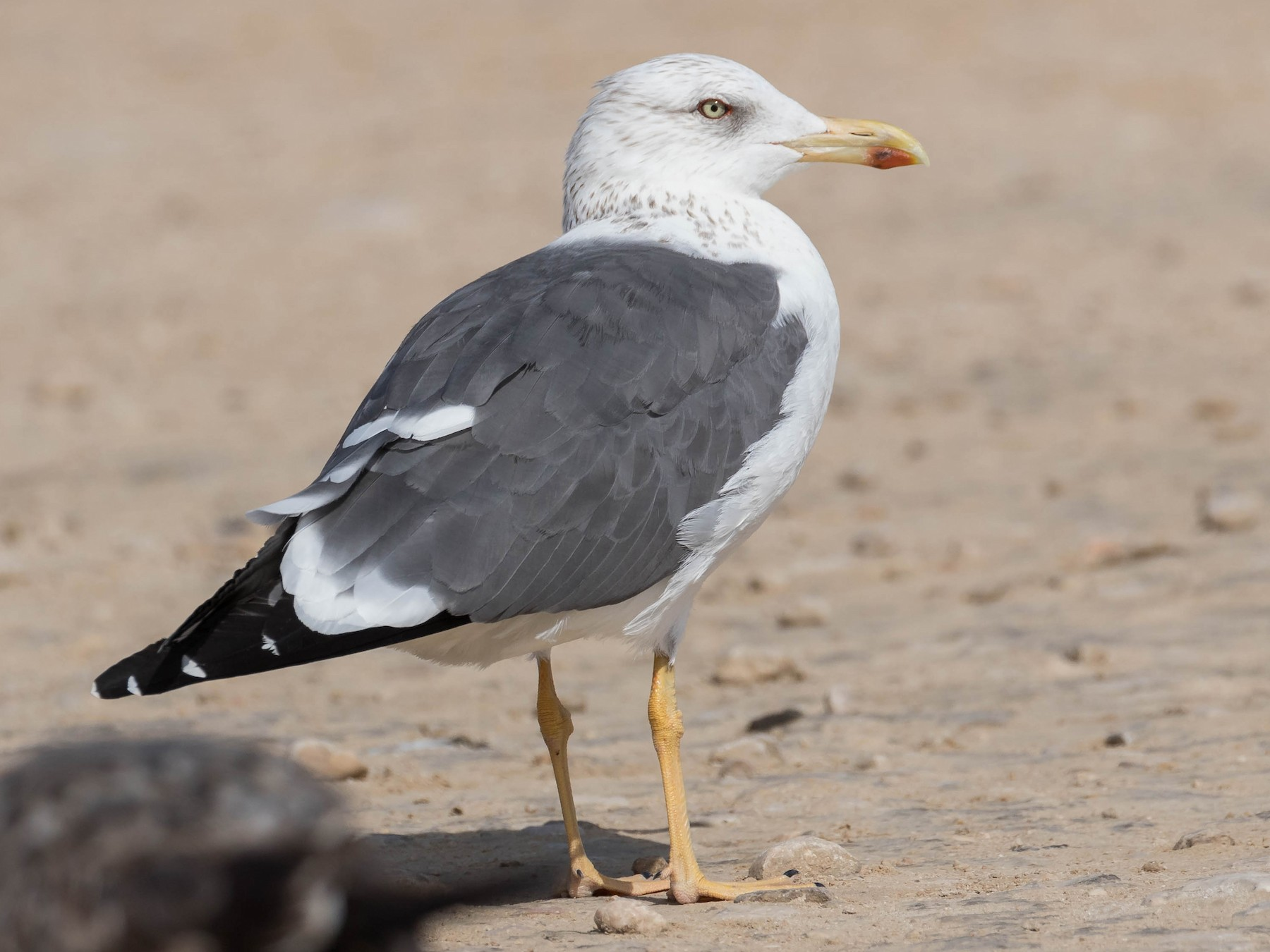 Lesser Black-backed Gull - James Kennerley 🦄