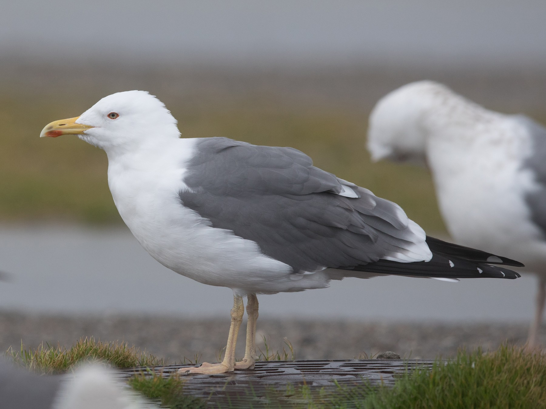 Lesser Black-backed Gull - yann muzika