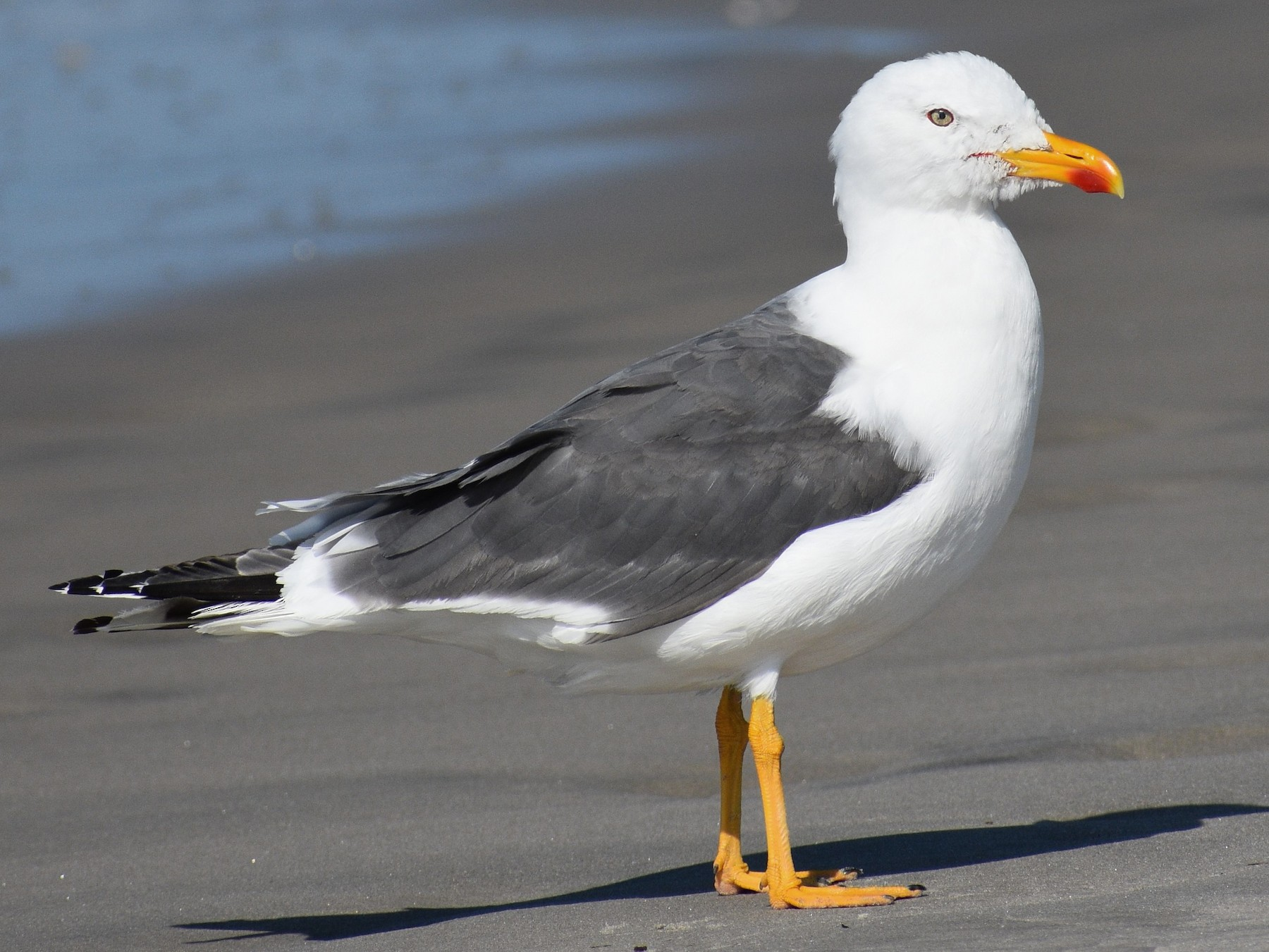 Lesser Black-backed Gull - Terry Bohling