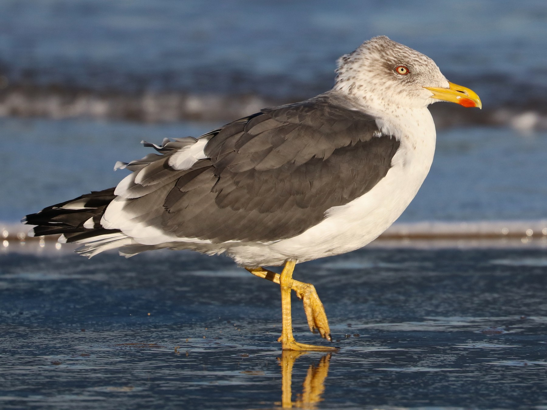 Lesser Black-backed Gull - Drew Chaney