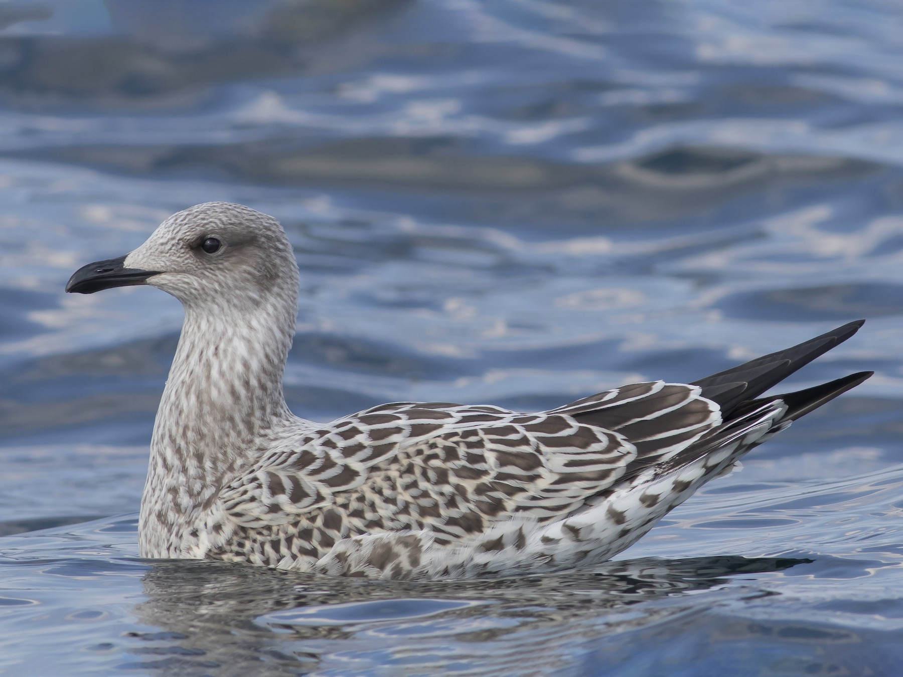 Lesser Black-backed Gull - Caleb Putnam