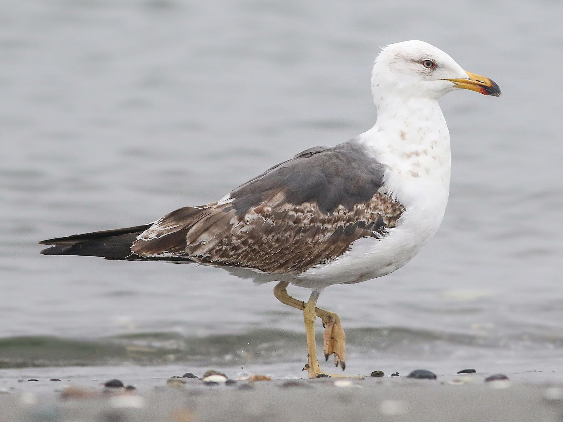 Lesser Black-backed Gull - Joshua  Glant