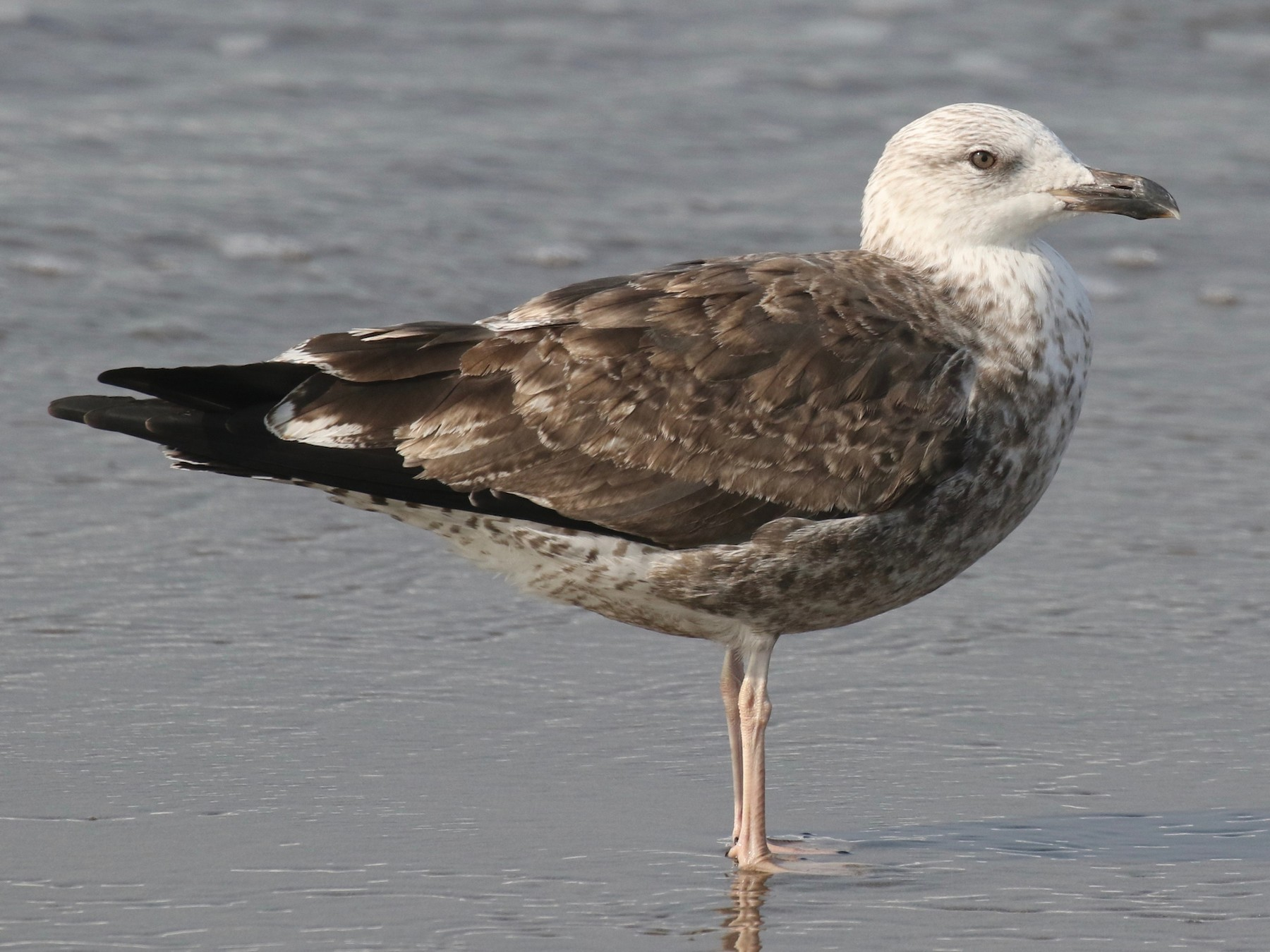 Lesser Black-backed Gull - Jonah  Benningfield