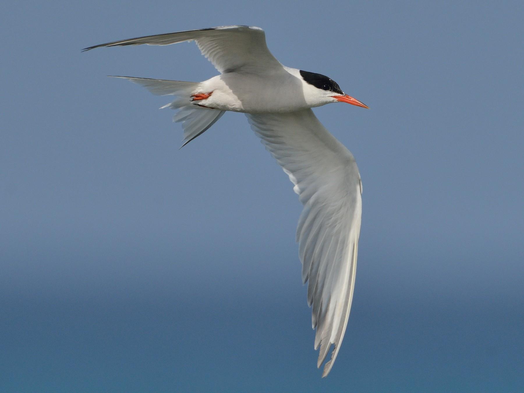 Common Tern - Michiel Oversteegen