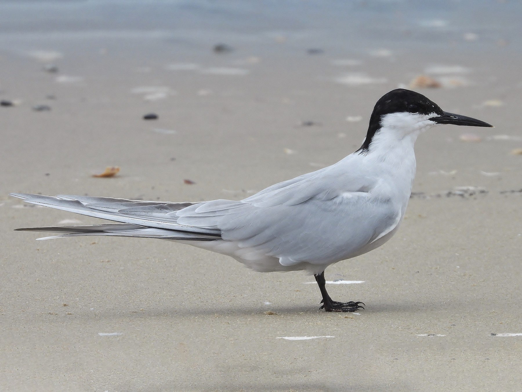 Common Tern - Steven McBride