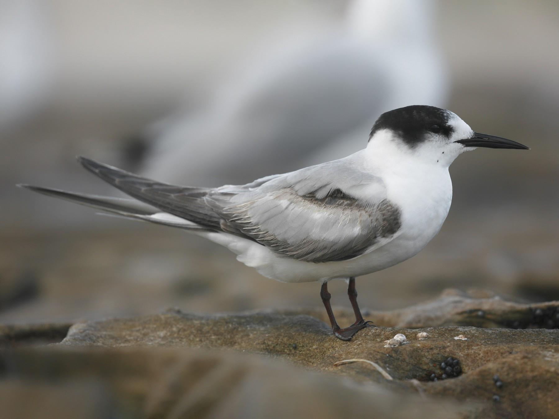 Common Tern - Anonymous eBirder