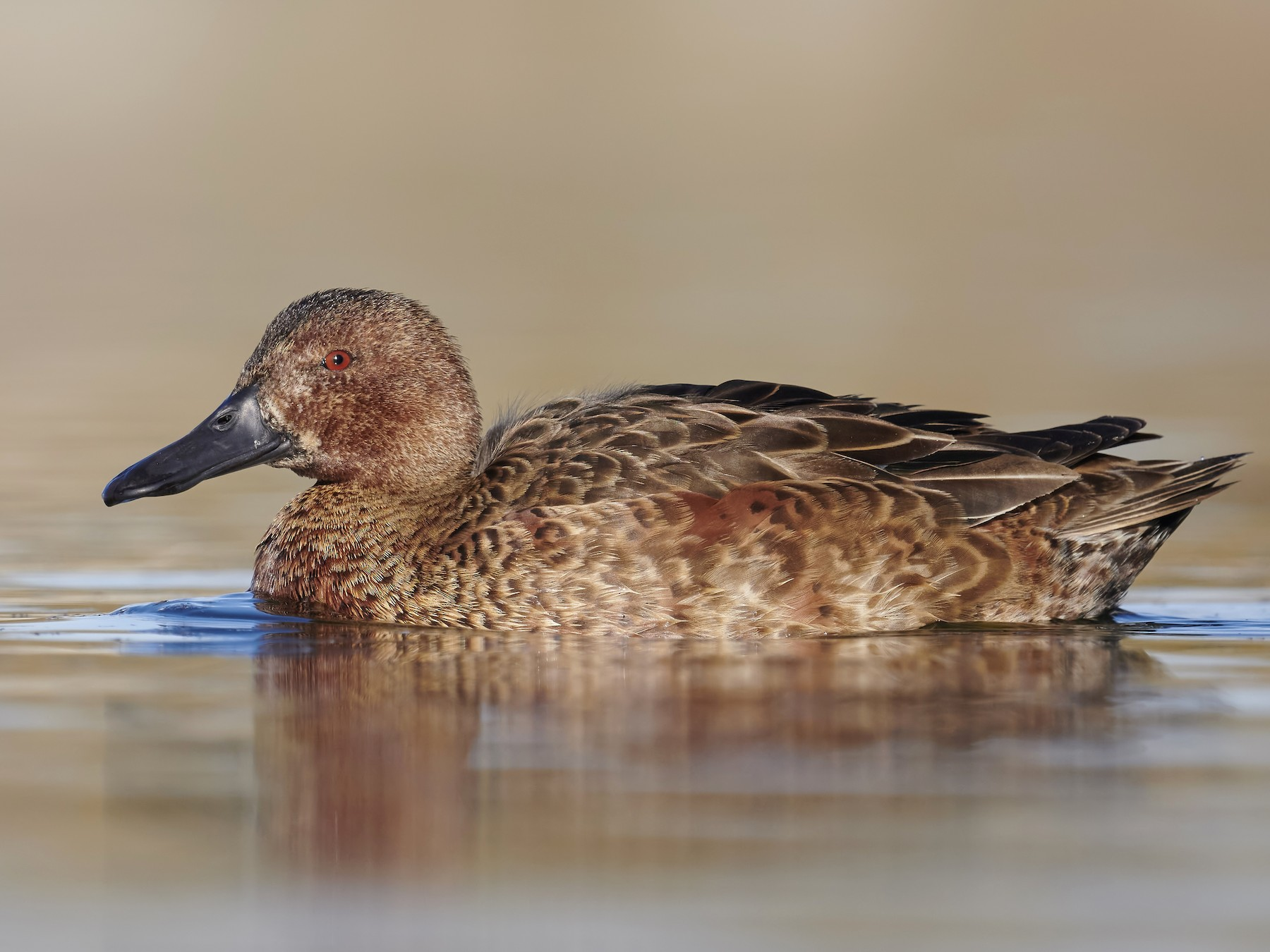 Cinnamon Teal - Sharif Uddin