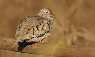 - Common Ground Dove
