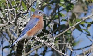 - Eastern Bluebird