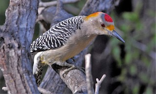 - Golden-fronted Woodpecker