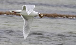 - Glaucous Gull