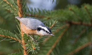 - Red-breasted Nuthatch