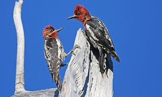 - Red-breasted Sapsucker