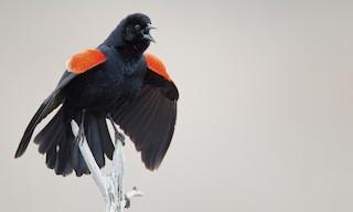 - Red-winged Blackbird