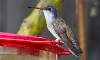 - Violet-crowned Hummingbird