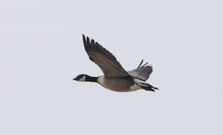 Cackling Goose, ML300046681