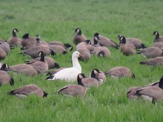 Ross's Goose, ML300087431