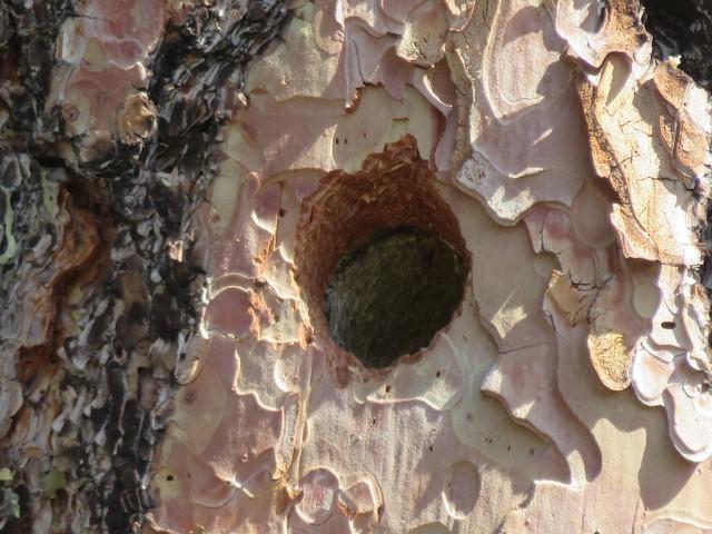 White-headed Woodpecker nest cavity.