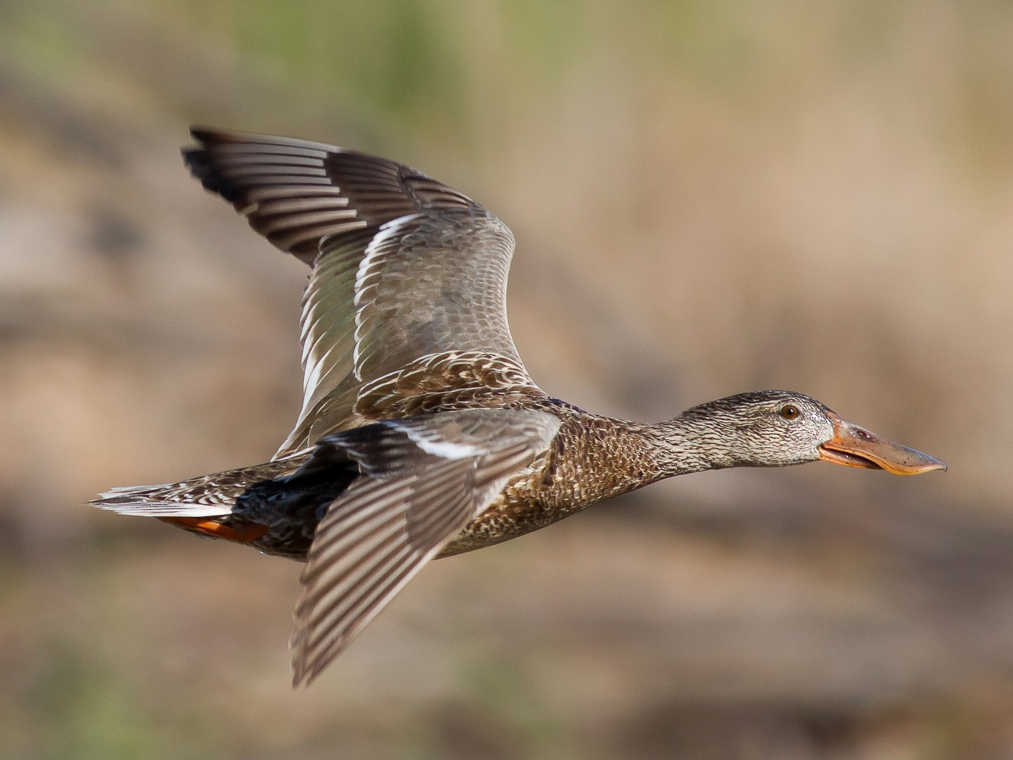 Northern Shoveler - Nick Pulcinella