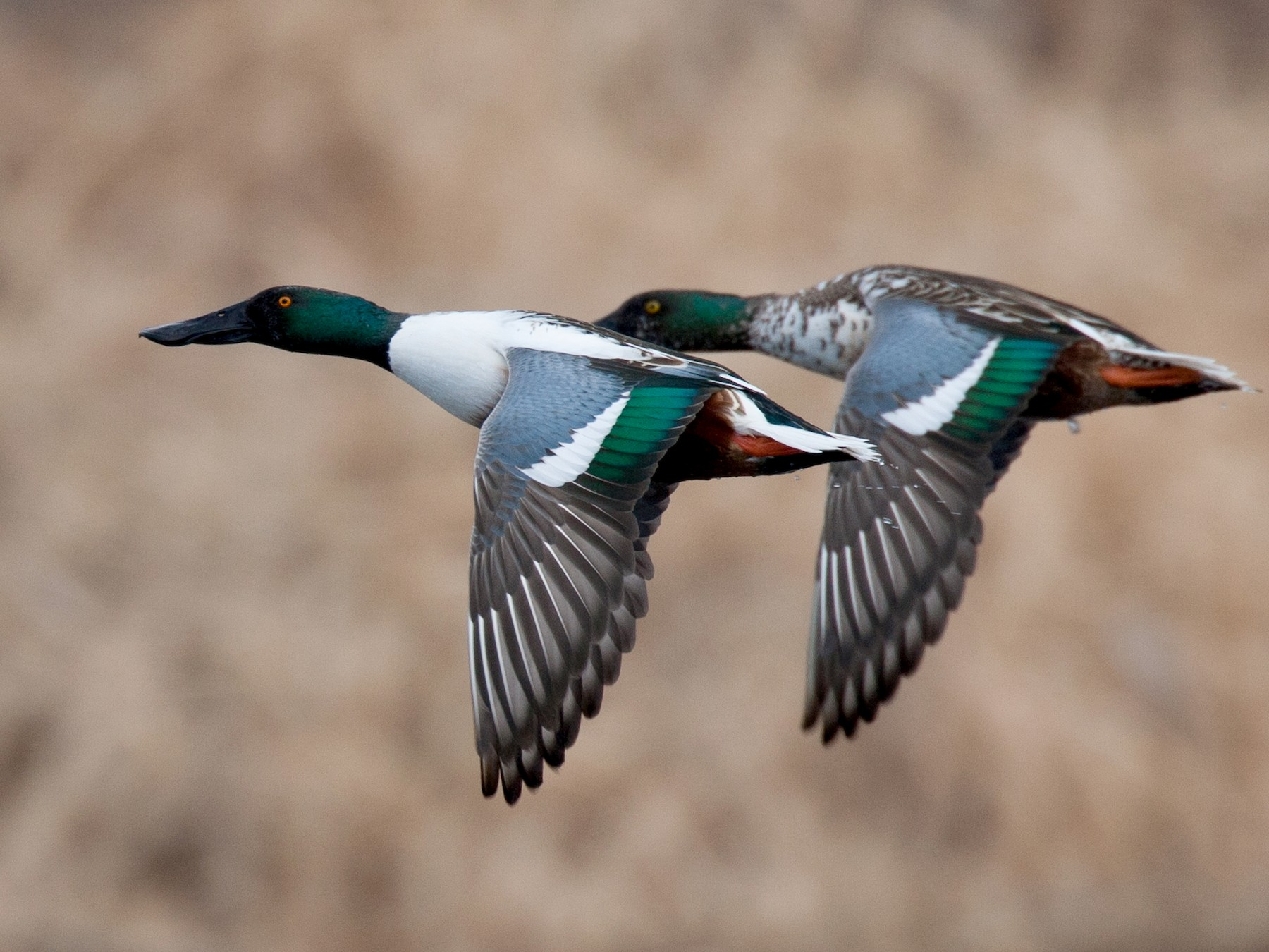 Northern Shoveler - Chris Wood