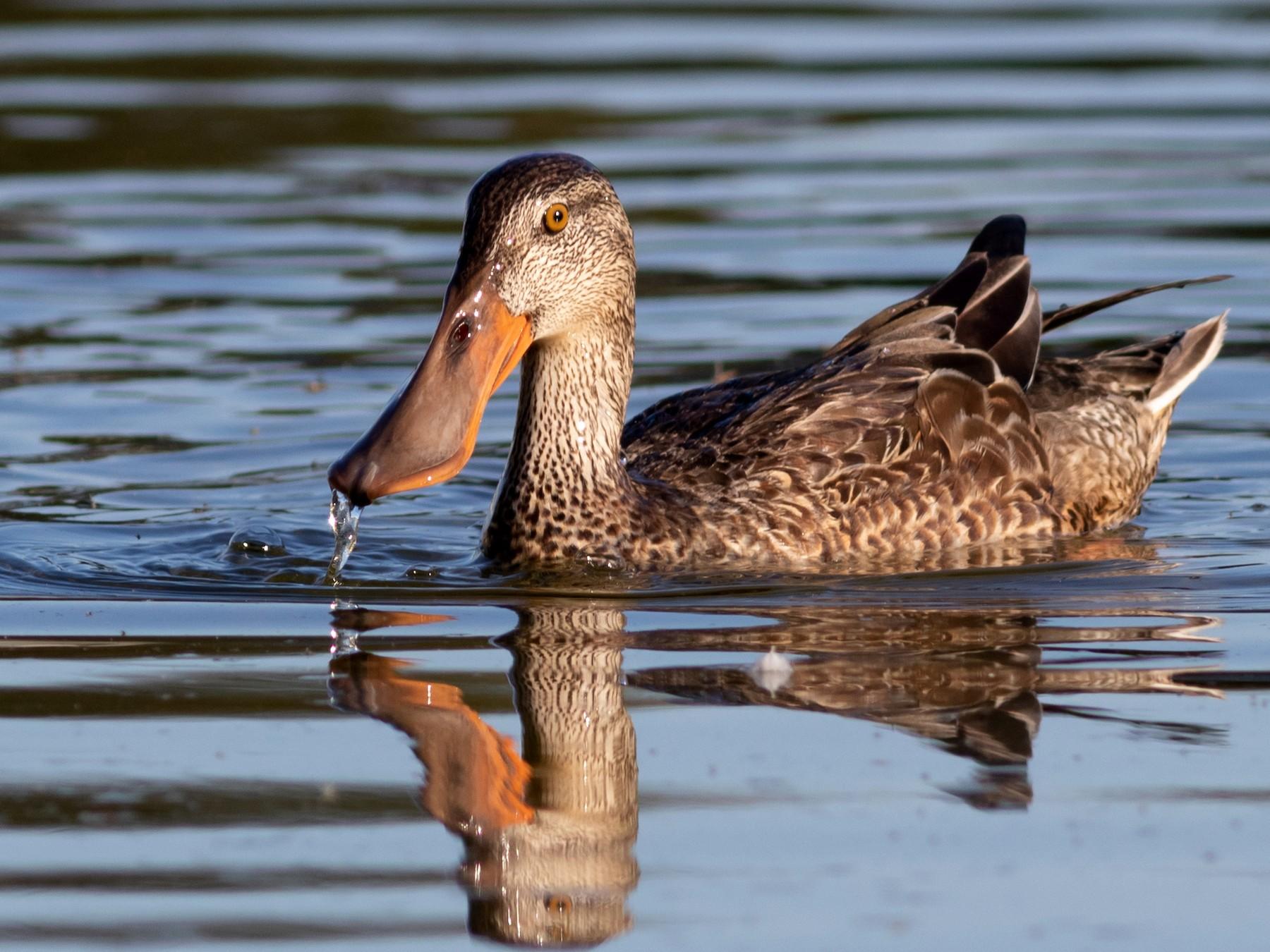 Northern Shoveler - Foster Wang