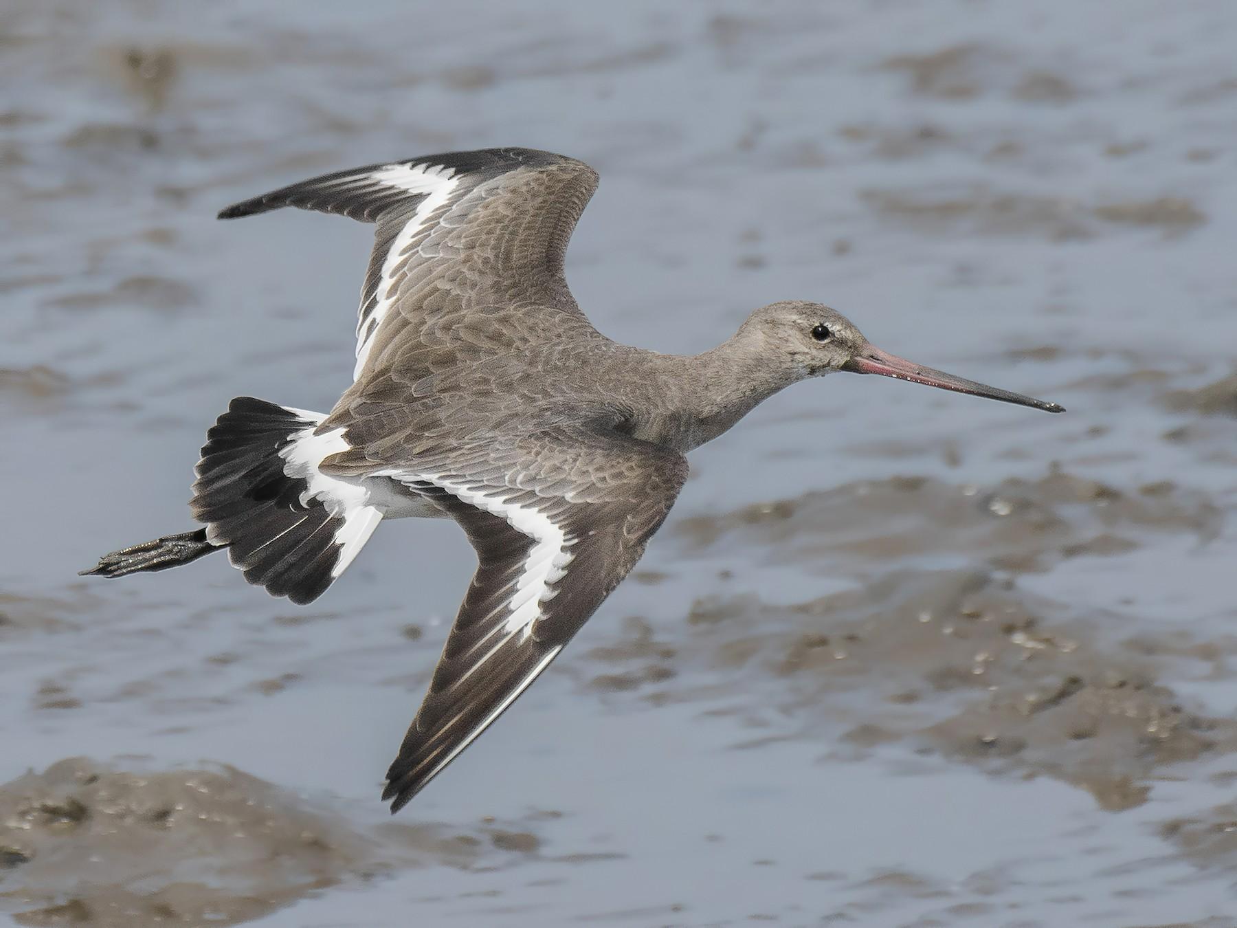 Black-tailed Godwit - Natthaphat Chotjuckdikul