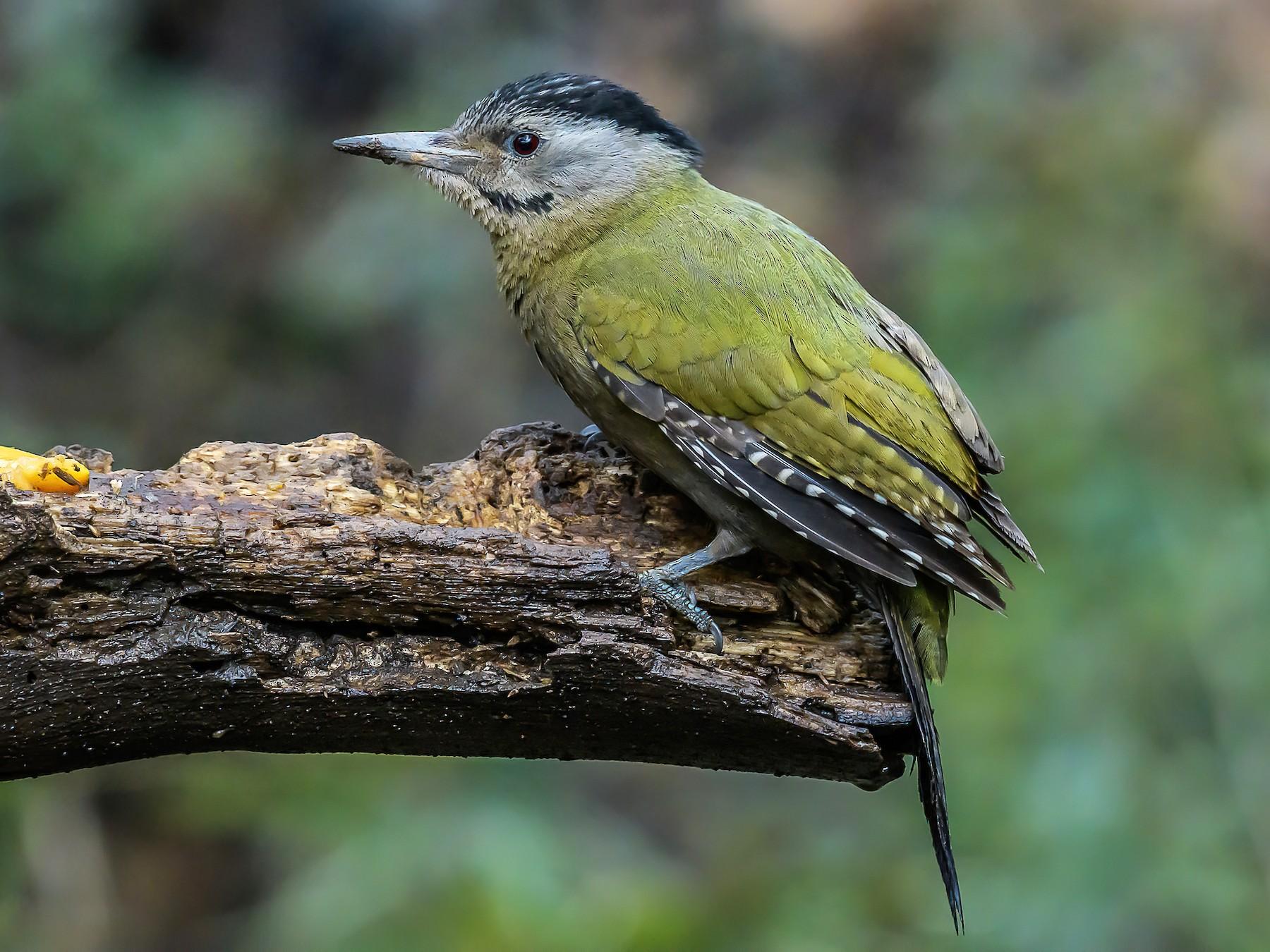 Gray-headed Woodpecker - Nitin Chandra