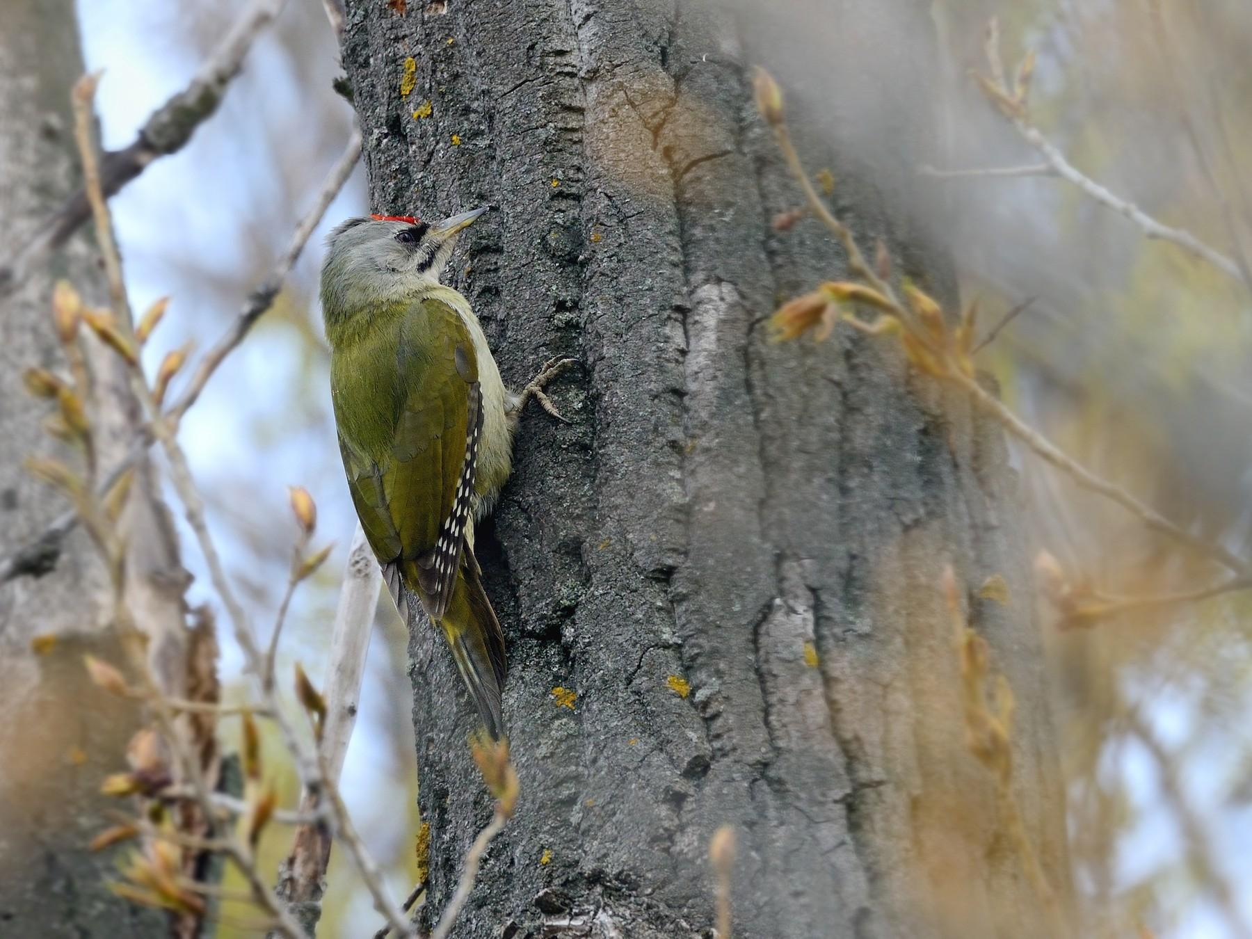 Gray-headed Woodpecker - Pavel Štěpánek