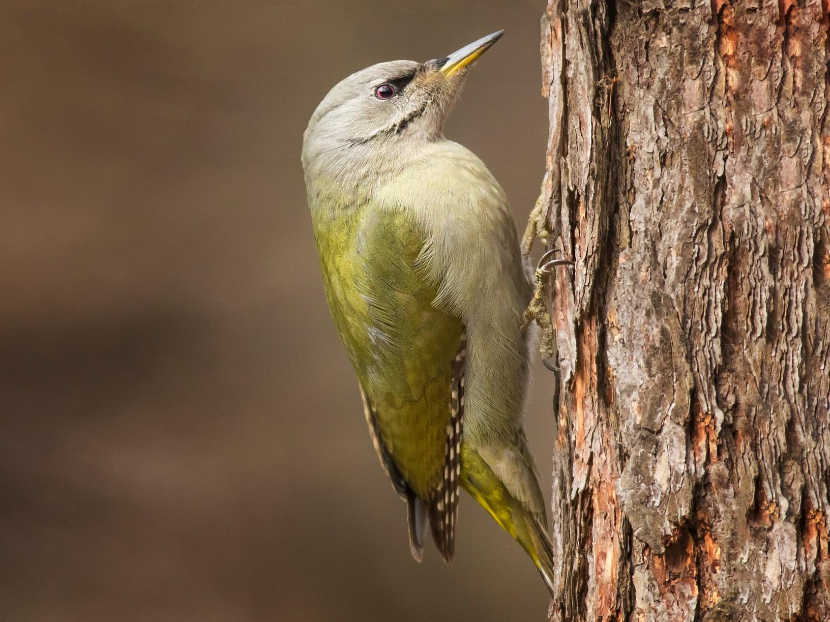 Gray-headed Woodpecker - Egor Vlasov